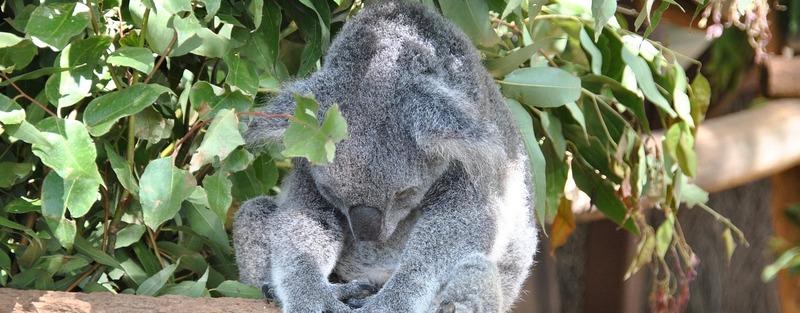 Meet-the-local-koalas-at-Lone-Pine-Sanctuary-in-Brisbane