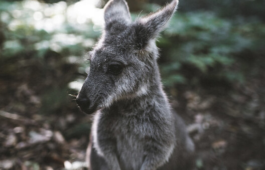 a  wallaby in the Blue Mountains National Park.