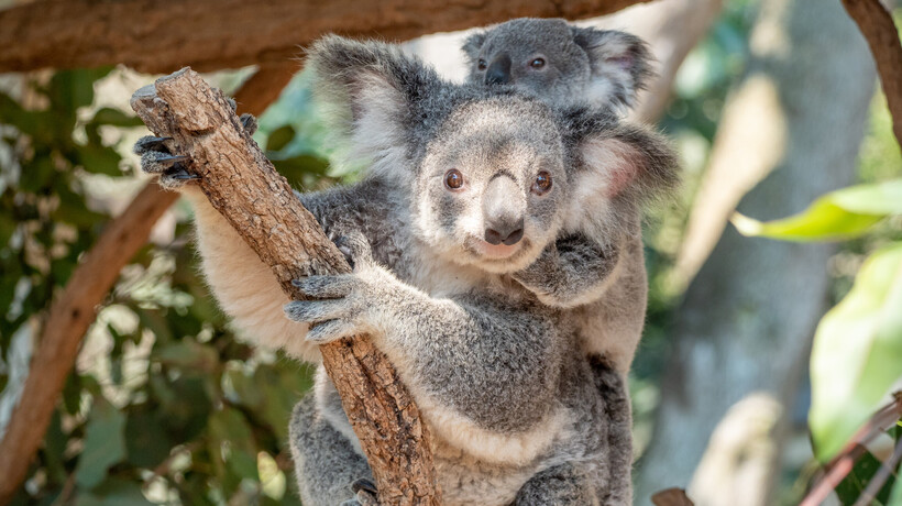 some of the gorgeous koalas at Lone Pine Sanctuary in Brisbane.