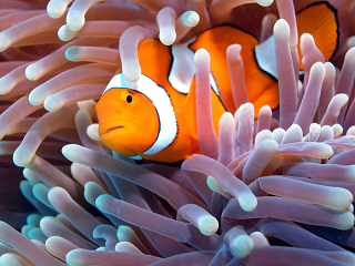 a Clownfish swimming in the Great Barrier Reef