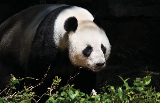 A panda bear at Adelaide Zoo