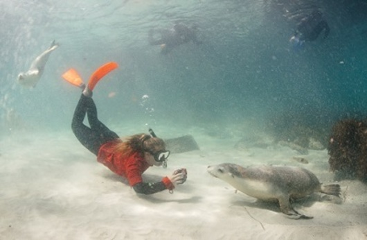a woman snorkelling and swimming with seals atNeptune Islands Conservation Park