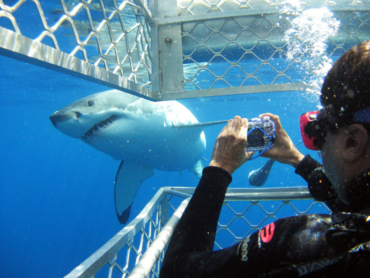 a person doing a shark cage dive with great white sharks at Port Lincoln