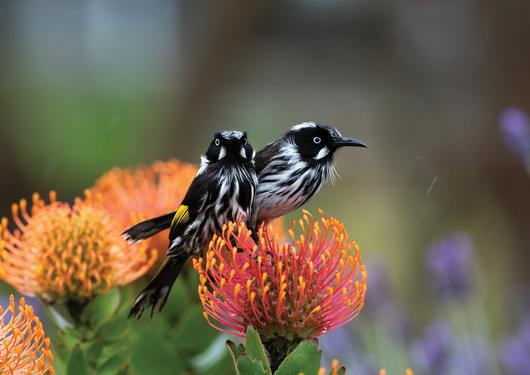 the stunning birdlife at Penneshaw on Kangaroo Island