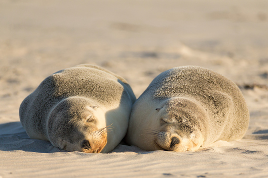 Sea lions lying on the sand at Seal Bay Conservation Park