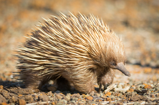 a short-beaked echidna in the national park in the Clare Valley.