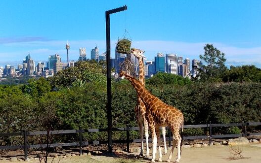 The giraffes at Taronga Zoo have the best views of Sydney