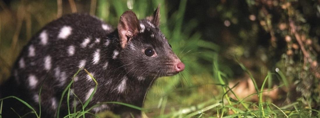 a local Tasmanian Devil