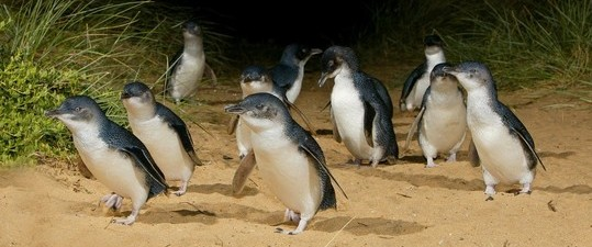 acolony of little penguins waddling down the beach atPhillip Island Nature Park