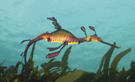 A sea dragon at Wilsons Prom Marine park on the Mornington Peninsula