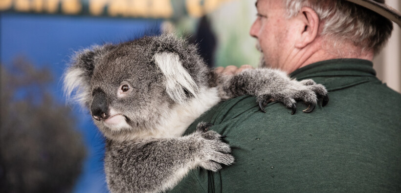 a koala being held by a park ranger in one of the Perth parks