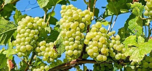 bunches of grapes on the vines waiting to be picked